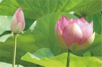 Lotus Tablett 40x19 cm